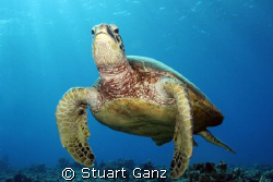 &quot;Honu&quot; by Stuart Ganz 